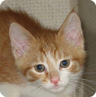 Domestic Shorthair Kitten for adoption in Hamilton, New Jersey - CREAMY-2012
