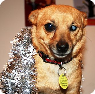 Chihuahua Mix Dog for adoption in Westminster, Colorado - Lager