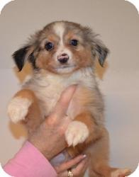 Australian Shepherd Puppy for adoption in Overland Park, Kansas - GREYSON