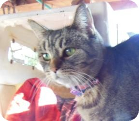 American Shorthair Cat for adoption in Mission Viejo, California - Baby Face