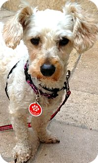 Jack Russell Terrier/Poodle (Toy or Tea Cup) Mix Dog for adoption in Thousand Oaks, California - Cindy Lou