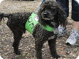 Poodle (Miniature) Mix Dog for adoption in Arcadia, Florida - Izod