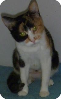 Calico Cat for adoption in Hamburg, New York - Savannah