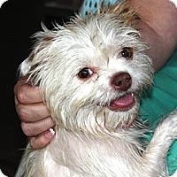 Adopt A Pet :: Bella - in Maine - kennebunkport, ME
