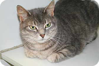 Domestic Shorthair Cat for adoption in Jackson, New Jersey - Julie