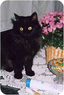 Domestic Longhair Cat for adoption in Owatonna, Minnesota - Ebony