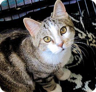 Domestic Shorthair Cat for adoption in HILLSBORO, Oregon - Zeke
