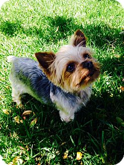 Yorkie, Yorkshire Terrier Dog for adoption in Corona, California - CHEWY