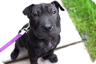 Shar Pei Mix Puppy for adoption in Detroit, Michigan - Echo-Adopted!