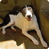 Adopt A Pet :: Pointer Mix Girl - San Diego, CA
