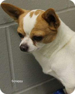 Chihuahua Mix Dog for adoption in Hibbing, Minnesota - SCRAPPY