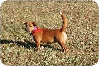 Corgi/Basset Hound Mix Puppy for adoption in Cocoa, Florida - Bailey