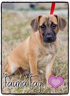 Pug/Dachshund Mix Puppy for adoption in Washington, D.C. - Fauna Fay (POM)