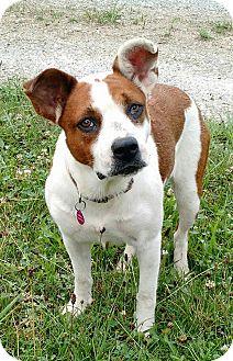 Cattle Dog Mix Dog for adoption in Macomb, Illinois - Bridget
