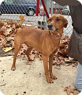 Miniature Pinscher Mix Dog for adoption in Beacon, New York - Copper