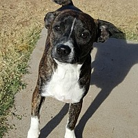 Chihuahua Mix Dog for adoption in Tucson, Arizona - Bosley
