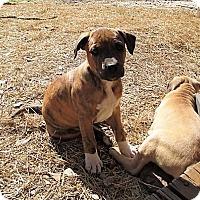 Adopt A Pet :: Patriot - Adopted! - Croydon, NH