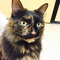 Domestic Longhair Cat for adoption in Arlington/Ft Worth, Texas - Ruby