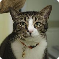 Domestic Shorthair Cat for adoption in Norfolk, Virginia - Max