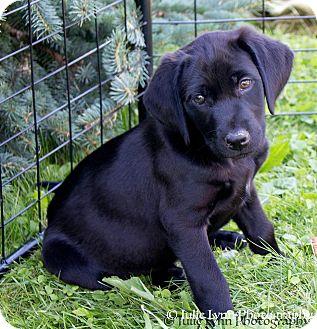 Labrador Retriever Mix Puppy for adoption in Conesus, New York - Mabel