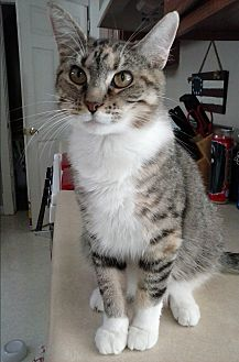 Domestic Shorthair Cat for adoption in Covington, Kentucky - Magda