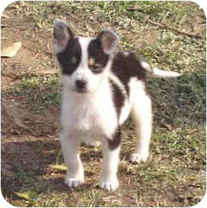 German Shepherd Dog/Border Collie Mix Puppy for adoption in Portsmouth, Rhode Island - Clovis