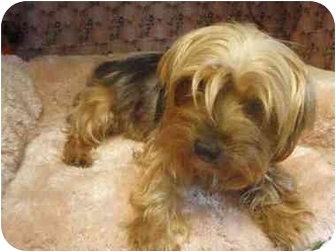 Yorkie, Yorkshire Terrier Mix Dog for adoption in Los Angeles, California - Blondie