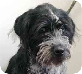 German Wirehaired Pointer Mix Dog for adoption in Meridian, Idaho - Victoria