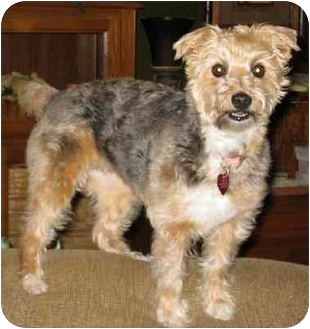 Yorkie, Yorkshire Terrier/Poodle (Miniature) Mix Dog for adoption in Conroe, Texas - Cuddles