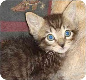 Domestic Shorthair Kitten for adoption in Brenham, Texas - Jeremiah