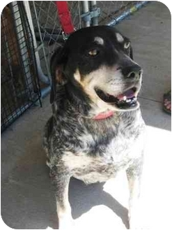 Hound (Unknown Type) Mix Dog for adoption in Florence, Indiana - Blue