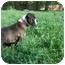 Photo 2 - Boxer Dog for adoption in Raymond, New Hampshire - Casey