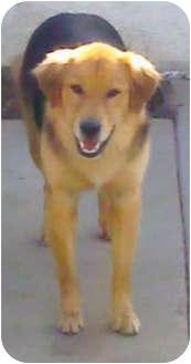 Golden Retriever/German Shepherd Dog Mix Dog for adoption in Long Beach, California - Sammy