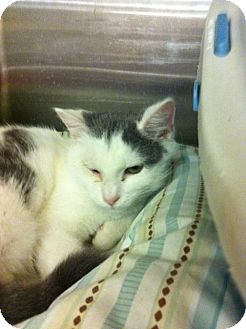 Domestic Shorthair Cat for adoption in Pittstown, New Jersey - Kitty Hawk