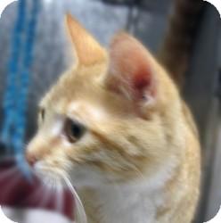 Domestic Shorthair Cat for adoption in Sidney, Ohio - Margaret