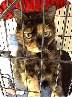 Domestic Shorthair Cat for adoption in Webster, Massachusetts - Maple
