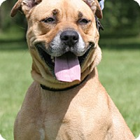 Black Mouth Cur/American Staffordshire Terrier Mix Dog for adoption in North Fort Myers, Florida - Melissa