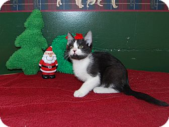 Domestic Shorthair Kitten for adoption in North Judson, Indiana - Baby
