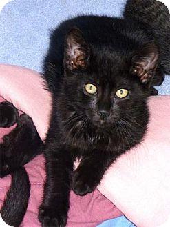 Domestic Shorthair Kitten for adoption in Salem, Oregon - Dustin (foster)