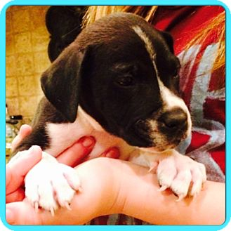 Labrador Retriever/Boxer Mix Puppy for adoption in Greenfield, Wisconsin - Timmy