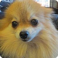 Adopt A Pet :: Dolly Fluff - Greenville, RI