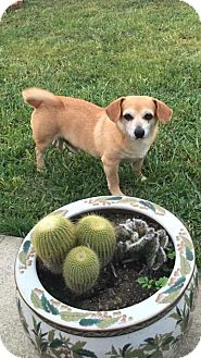 Chihuahua/Dachshund Mix Dog for adoption in Austin, Texas - Chuy