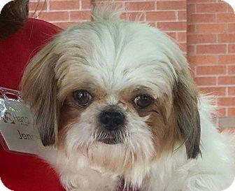 Shih Tzu Dog for adoption in Greensboro, North Carolina - Lacey