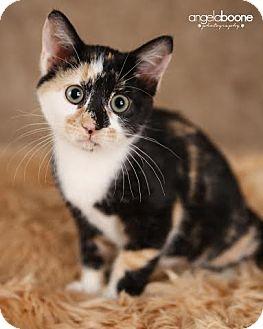 Domestic Shorthair Kitten for adoption in Eagan, Minnesota - Ruby