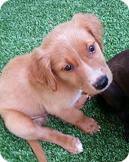 Golden Retriever Mix Puppy for adoption in Ft. Lauderdale, Florida - Nate