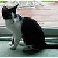 Domestic Shorthair Cat for adoption in Livonia, Michigan - Leah