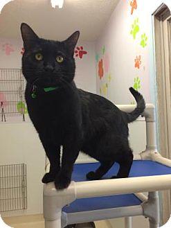 Domestic Shorthair Cat for adoption in Beatrice, Nebraska - Baloo