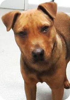 Shepherd (Unknown Type)/Redbone Coonhound Mix Dog for adoption in Lincolnton, North Carolina - Renni