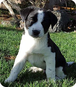 Australian Shepherd/Australian Cattle Dog Mix Puppy for adoption in Bend, Oregon - Dylan