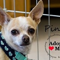 Chihuahua Mix Dog for adoption in Mesa, Arizona - Pinta